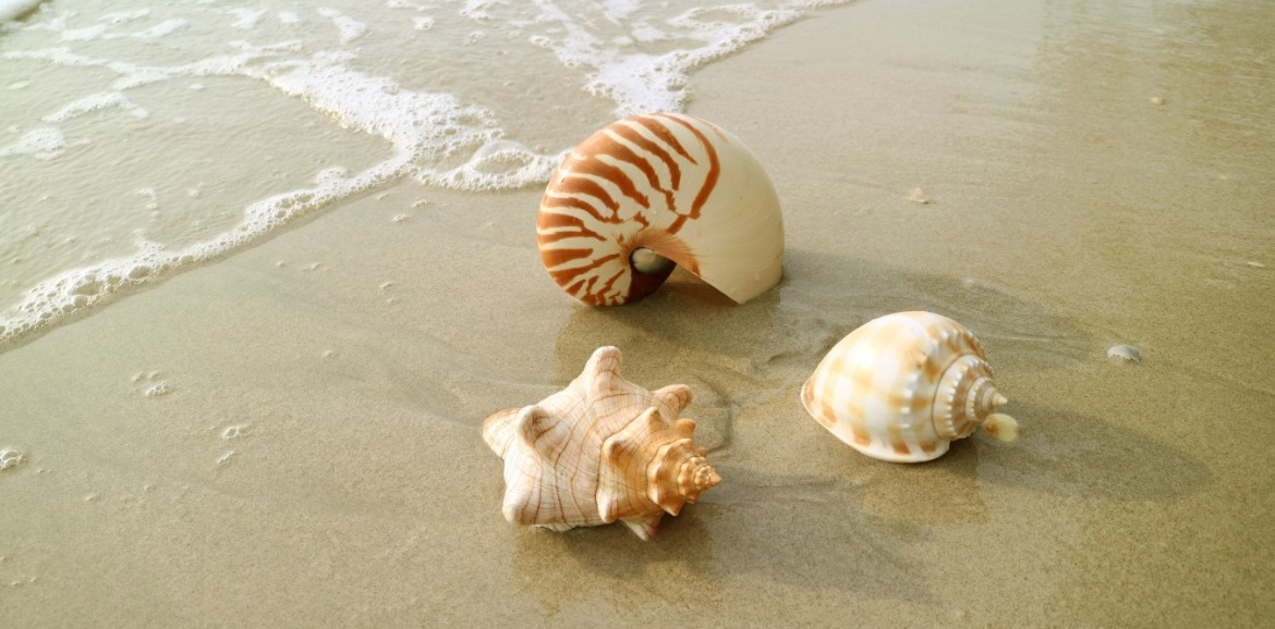 scotch bonnet shells on the beach | SeaShore Realty